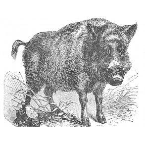 Alt om vildsvin og vildsvinejagt
